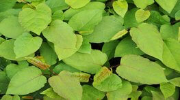 Onus now on buyers to check for Japanese knotweed